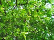 Árbol de tamarindo o tamarindus indica Imágenes de archivo libres de regalías