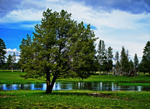 Árbol de Teton Imagenes de archivo