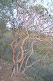 Árbol de Texas Madrone en el parque nacional de la curva grande, Tejas fotos de archivo libres de regalías