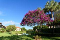 Árbol de Tibouchina en la plena floración con las flores púrpuras Imagen de archivo