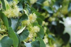 Árbol de tilo floreciente Jardines y jardines Árboles para las abejas de la miel Polen y olor dulce Fotografía macra de la natura foto de archivo libre de regalías