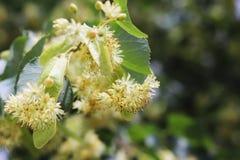 Árbol de tilo floreciente Jardines y jardines Árboles para las abejas de la miel Polen y olor dulce Fotografía macra de la natura fotografía de archivo libre de regalías