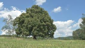 Árbol de tilo grande en el verano - lapso de tiempo almacen de metraje de vídeo