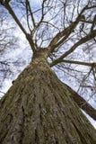 Árbol de tilo poderoso antiguo con las ramas nevadas en el CCB foto de archivo