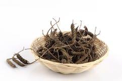 Árbol de tornillo del indio (isora del Helicteres (L.)) Fotografía de archivo libre de regalías