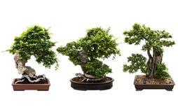Árbol de tres bonsais aislado en blanco foto de archivo libre de regalías