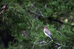 Árbol de tres Cedar Waxwing Birds In Cedar Imágenes de archivo libres de regalías