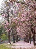Árbol de trompeta rosado Fotografía de archivo