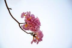 Árbol de trompeta rosado Fotos de archivo