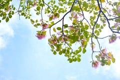 Árbol de trompeta rosado Imágenes de archivo libres de regalías