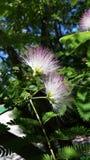Árbol de Truffala imagen de archivo libre de regalías