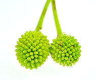 Árbol de ventaja verde de la flor del bosque o popinac blanco Fotos de archivo libres de regalías