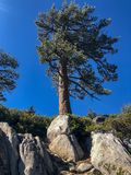 Árbol de Windy Day Branches Blowing Pine imagenes de archivo