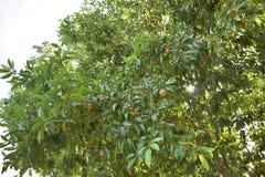 Árbol de zapote Foto de archivo libre de regalías