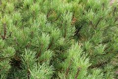 Árbol del árbol de hoja perenne del pino de la aguja imagen de archivo libre de regalías
