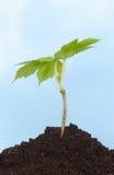 Árbol del árbol joven Imagen de archivo libre de regalías