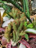 árbol del ‹del cactus†del ‹del decoration†del ‹del garden†del ‹del in†del ‹de Thorns†foto de archivo