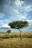 Árbol del acacia Imagen de archivo