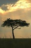 Árbol del acacia con la cigüeña foto de archivo libre de regalías