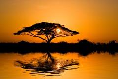Árbol del acacia en la salida del sol