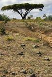 Árbol del acacia, Etiopía Foto de archivo libre de regalías