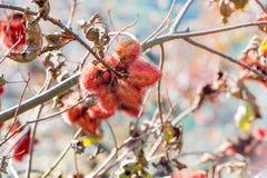 Árbol del achiote Foto de archivo