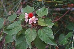 Árbol del achiote, planta medicinal y pigmento Imágenes de archivo libres de regalías