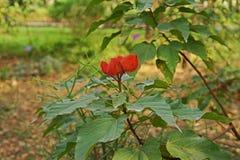 Árbol del achiote, uso de la planta tropical como comida y tinte natural para la comida Fotografía de archivo libre de regalías