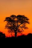 Árbol del africano de Silhoutted Fotos de archivo