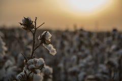 Árbol del algodón Fotos de archivo