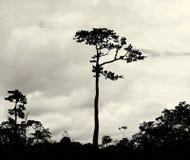 Árbol del Amazonas Imagenes de archivo