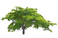 Árbol del anacardo (occidentale L. del Anacardium). Foto de archivo libre de regalías
