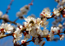 Árbol del aprocot del flor Fotos de archivo