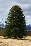 Árbol del araucana de la araucaria (Pehuen o Mono-rompecabezas) Fotografía de archivo libre de regalías