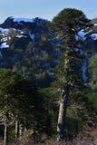Árbol del araucana de la araucaria (Pehuen o Mono-rompecabezas) Foto de archivo