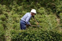 Árbol del arbusto de la poda del jardinero con esquileos Fotos de archivo libres de regalías