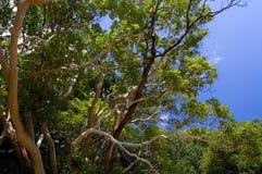 Árbol del Arbutus foto de archivo libre de regalías
