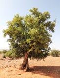 Árbol del Argan imagenes de archivo
