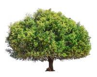 Árbol del Argan aislado Foto de archivo