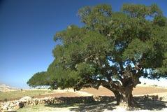 Árbol del Argan en el desierto marroquí Imagen de archivo libre de regalías