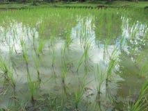 Árbol del arroz Imágenes de archivo libres de regalías