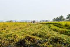 árbol del arroz en campo verde Imágenes de archivo libres de regalías