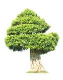 Árbol del Banyan o de los bonsais de los ficus Imagen de archivo libre de regalías