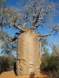 Árbol del baobab fotos de archivo libres de regalías