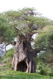 Árbol del baobab Fotografía de archivo libre de regalías