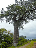 Árbol del baobab Imagenes de archivo