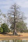 Árbol del baobab Imágenes de archivo libres de regalías