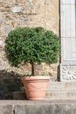 Árbol del benjamina de los ficus Fotos de archivo libres de regalías