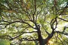 Árbol del bosque tropical Foto de archivo