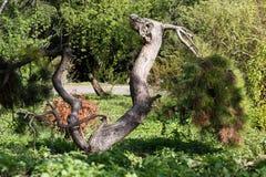 Árbol del caballo Imágenes de archivo libres de regalías